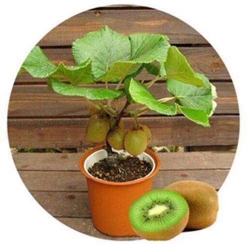 kiwi para vasos sementes fruta para mudas e bonsai