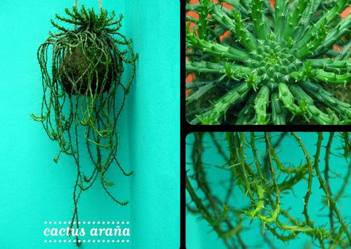 kokedama cactus araña colgante jardin redondo