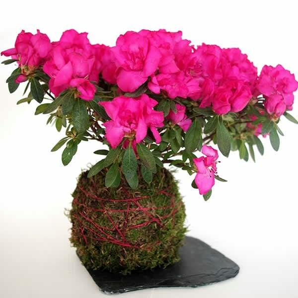 Kokedama De Azalea, Planta Con Flor.(de Interior Y Exterior) - $ 180 ...