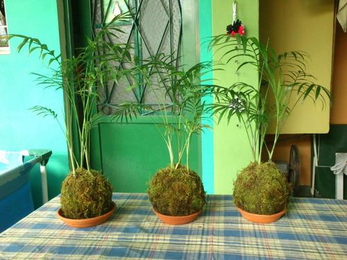kokedama de palmeritas y palmitos
