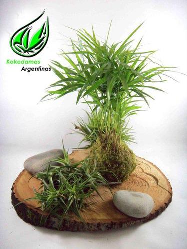 kokedama de palmito, plantas en musgo kokedamas argentinas
