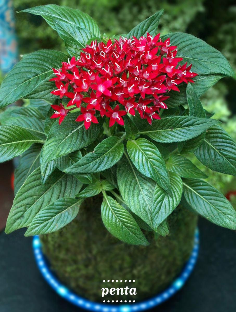 Kokedama Penta Con Flores Regalo Planta Jardin Redondo 22500 En - Plantas-de-jardin-con-flores