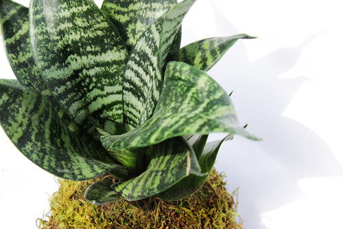 kokedamas plantas vivas sin maceta