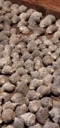 la mas grande coleccion de caracoles de mar