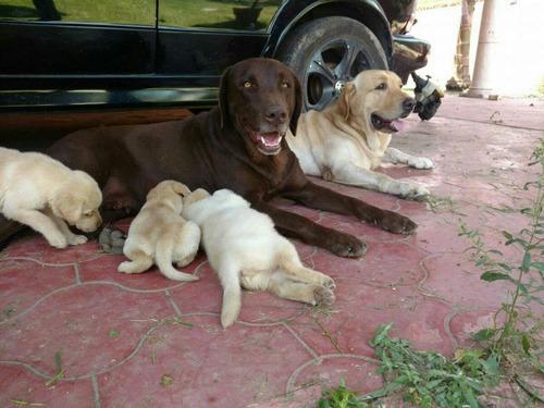 labrador cachorros chocolate, beige y negros