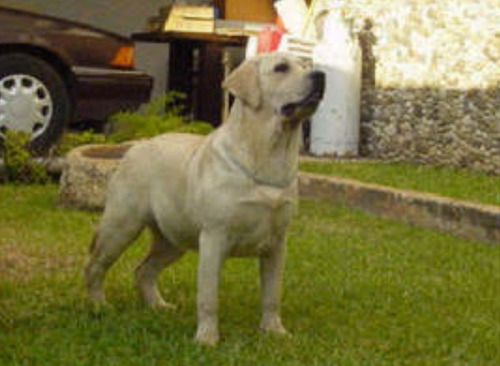labrador cachorros excelente calidad