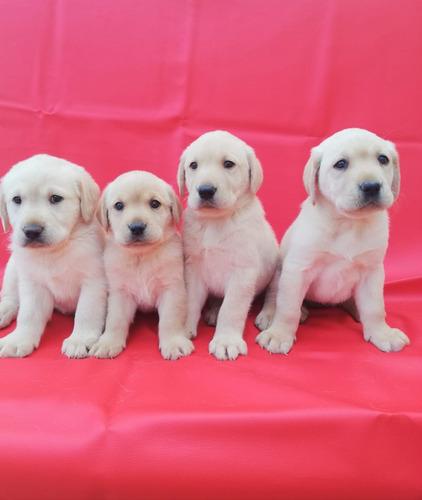 labrador cachorros unicos garantizados