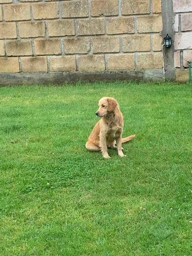 labrador golden retriver en adopción