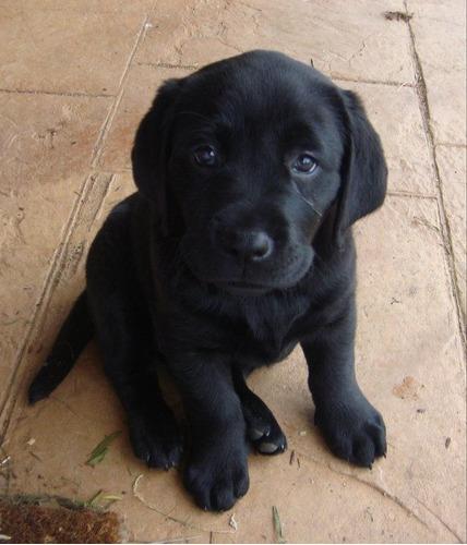 labrador negros  y beige cachorros