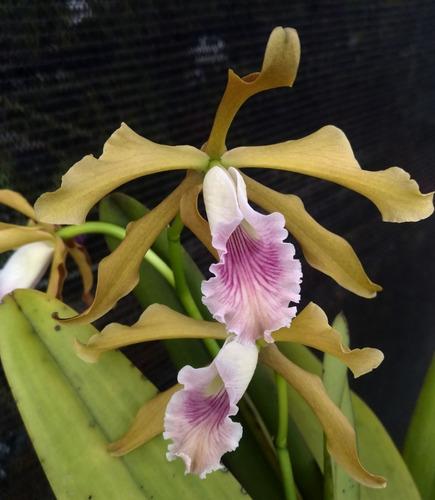 laelia grandis 55710 - adulta - planta da foto
