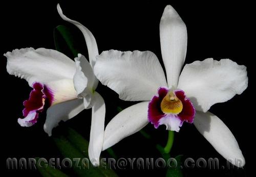 laelia purpurata oculata  furacao  - envasada adulta (foto)