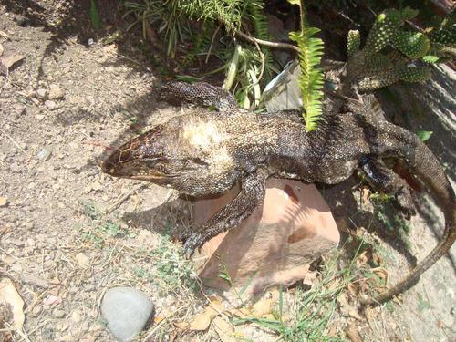 lagarto seco para decoracion