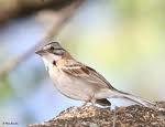 lamina 30x45 cm. de fauna - aves del uruguay - chingolo 4