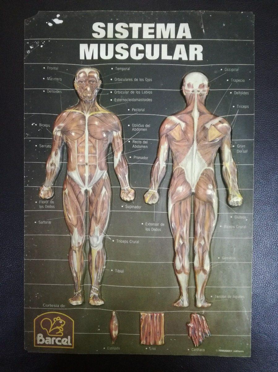 Lamina Del Sistema Muscular Fernandez Editores Para Barcel ...