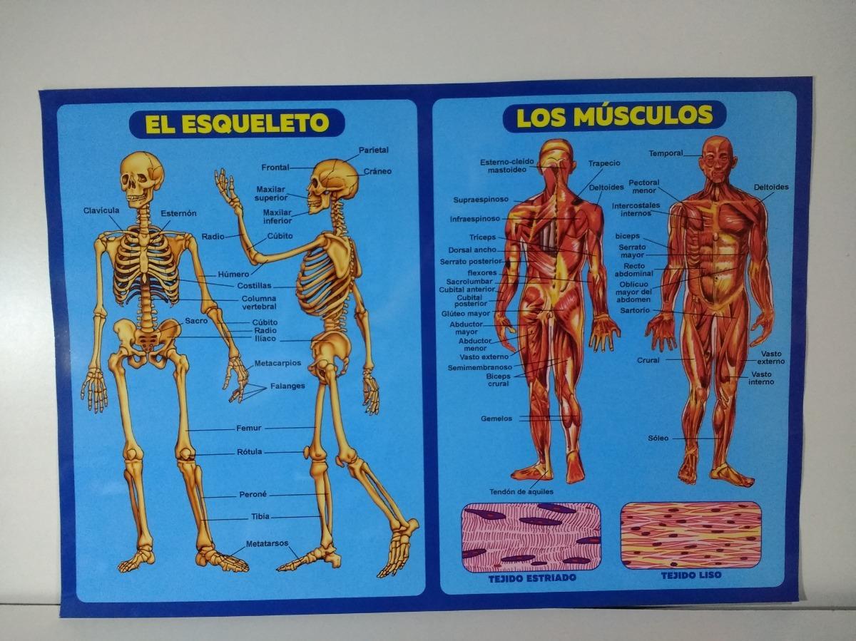 Lamina Educativa Del Cuerpo Humano - Esqueleto Y Musculos - $ 20,00 ...