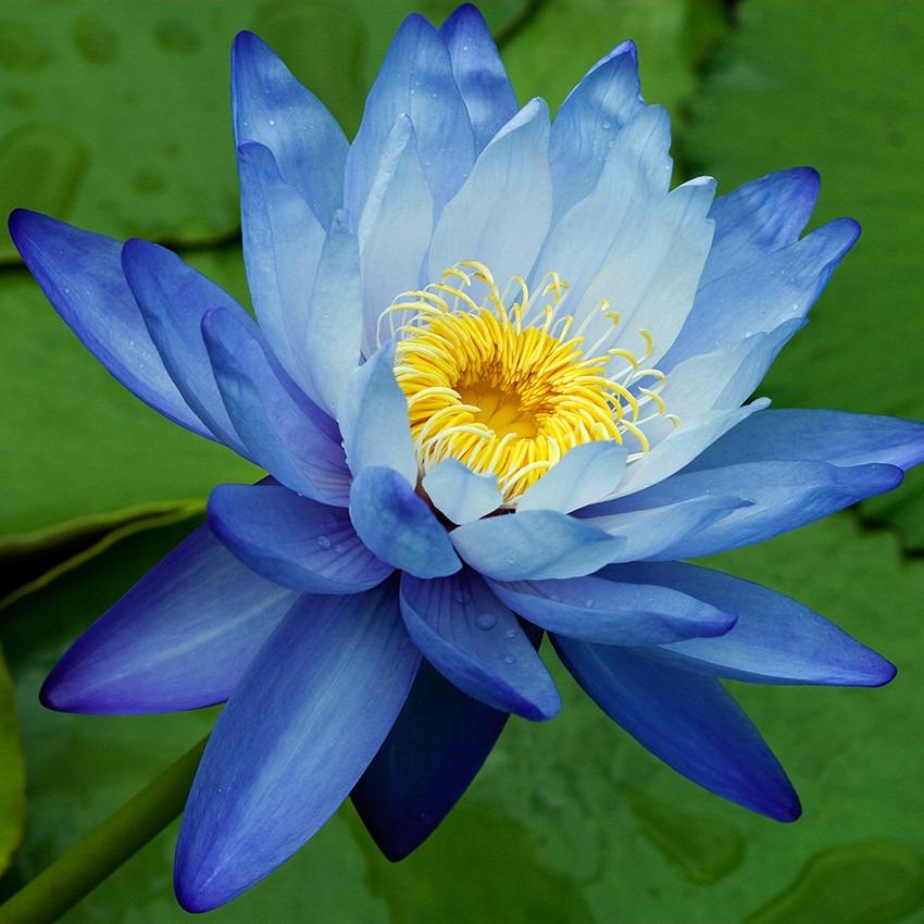 lamina flor de loto x cm laminas flores modernas