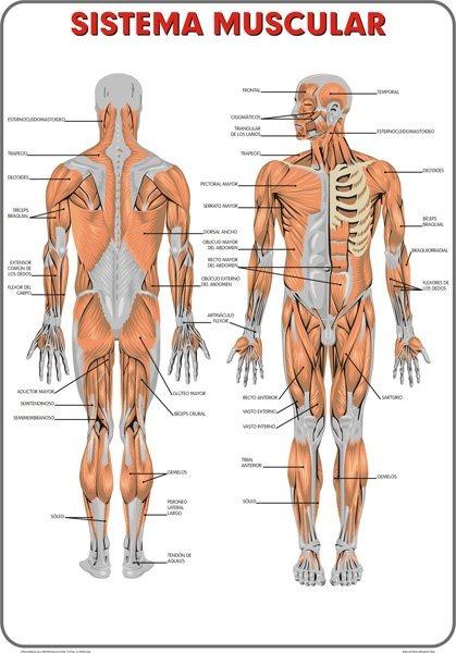 Lámina Mural Sistema Muscular Plastificado - 80x120 Cm - $ 550,00 en ...
