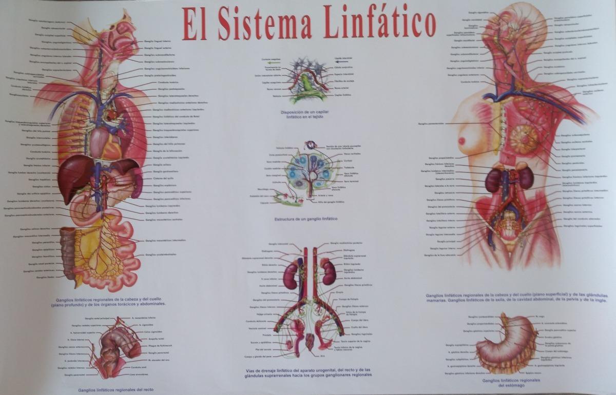 Lamina Poster Sistema Linfatico - $ 88.00 en Mercado Libre