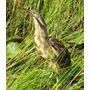 Mirasol Grande - Aves Del Uruguay - Fauna - Lámina 45x30 Cm.