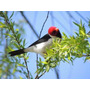 Cardenilla - Aves Fauna Nativa De Uruguay - Lámina 45x30 Cm.