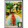 Aloe - Planta Medicinal - Homeopatía - Lámina 45x30 Cm.