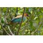Achará - Aves - Fauna Nativa De Uruguay - Lámina 45x30 Cm.