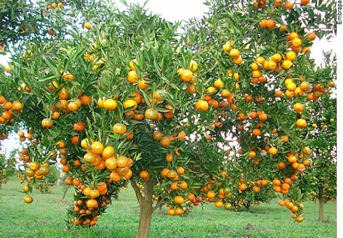 laranja bahia - doce e suculenta- 01 muda apenas 29,80