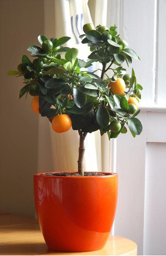 laranja vermelha para vasos - sementes para mudas da fruta