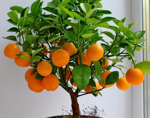 laranjeira anã para vasos sementes fruta para mudas bonsai