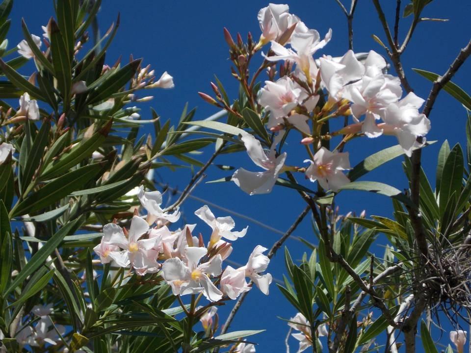 Laurel de jard n arbusto floral perenne jard n vereda 340 00 en mercado libre - Laurel de jardin ...