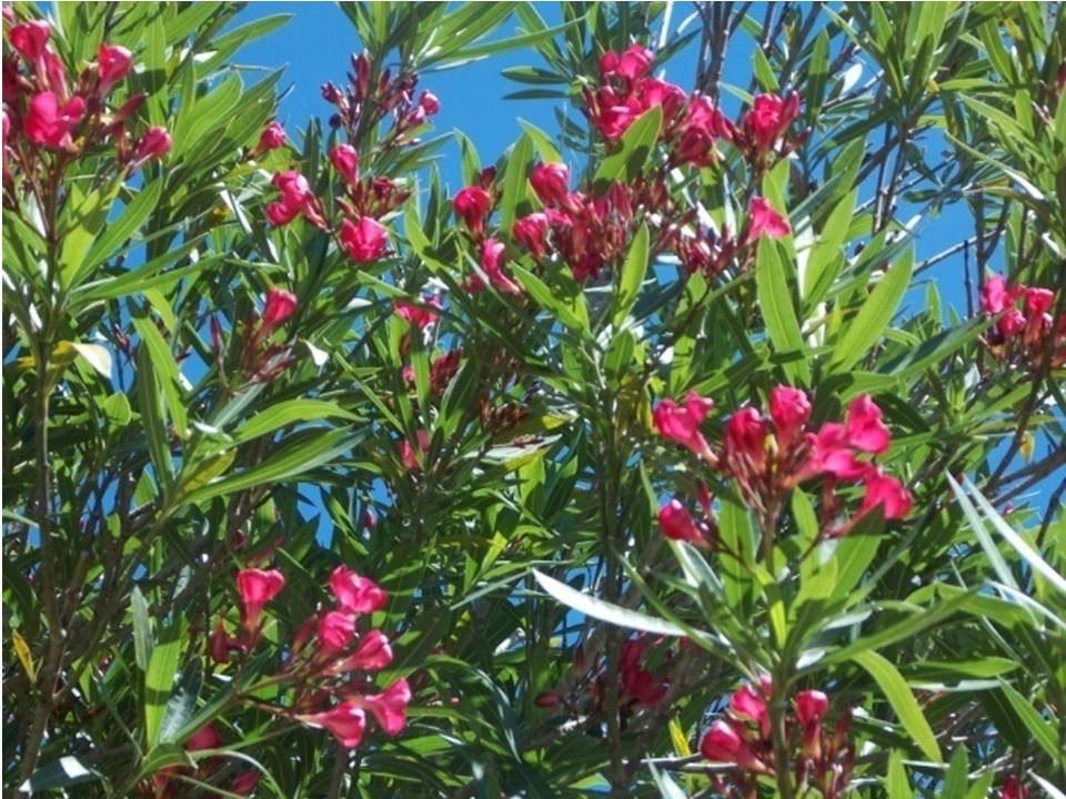 Laurel de jard n arbusto floral perenne vereda cercos 390 00 en mercado libre - Laurel de jardin ...