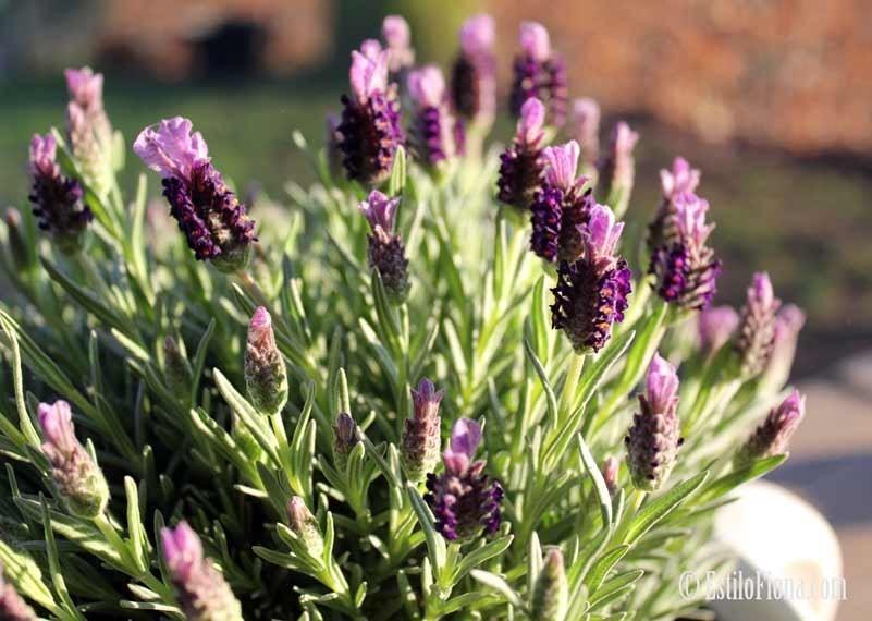 Image gallery lavanda planta for Jardines de lavanda