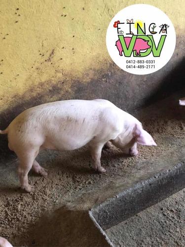 lechones - cerdos - cochinos