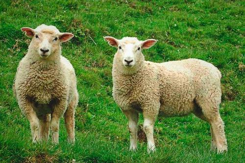 lechones, cochinillos y corderos especiales....