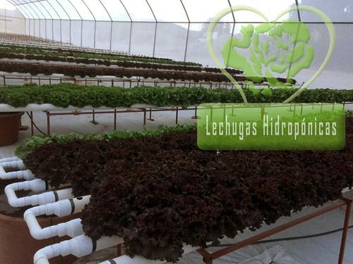 lechuga hidropónica gourmet orejona por pedido x kilo cdmx