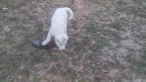 legítimo akita inu - fêmea branca