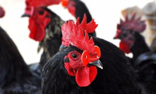 lentes para gallina antipicaje 50 pzas. evita canibalismo.