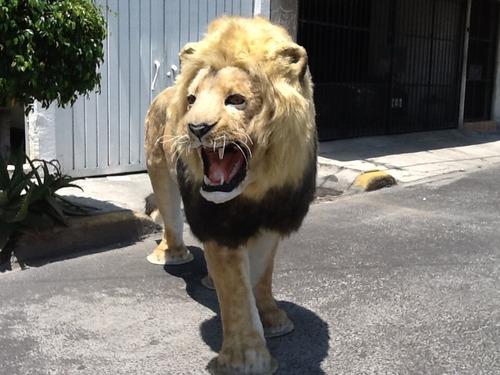 leon africano réplica. 100% artificial