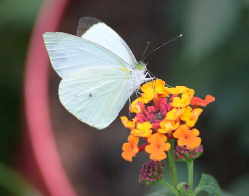 liberación de mariposas vivas!!!