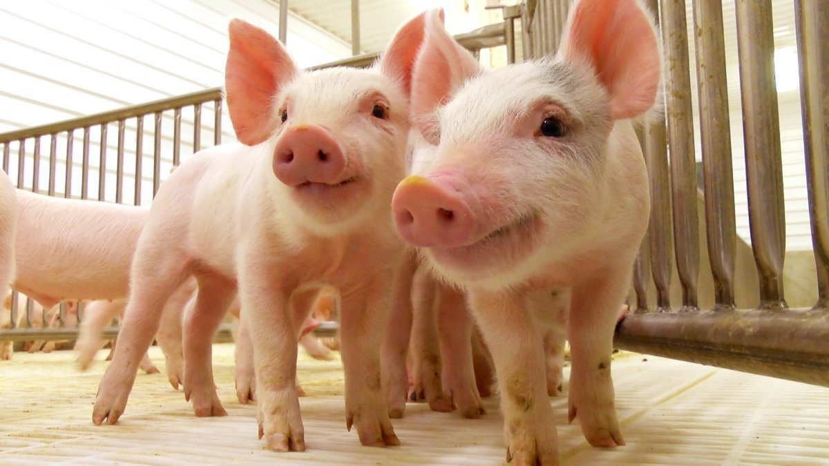 Libro Producción Porcina Online - Curso A Distancia - $ 1.250,00 en ...