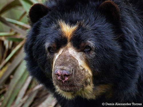 libro y fotos digitales un oso venezolano: el oso frontino