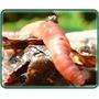 Manual De Lombricultura Lombriz Roja Californiana
