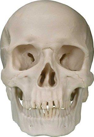 Life-size Cráneo Humano De La Reproducción Por La Nariz