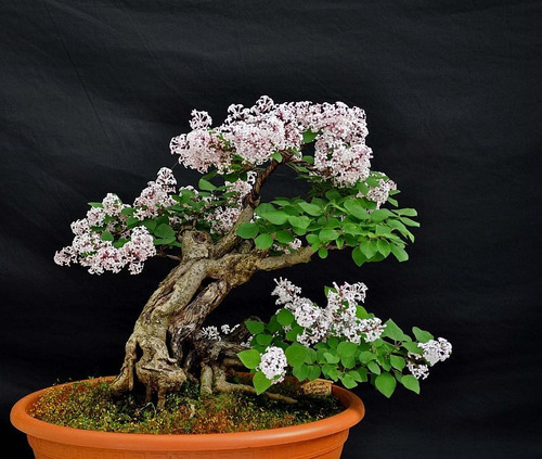 lilac littleleaf arbusto perfumado - sementes flor e bonsai