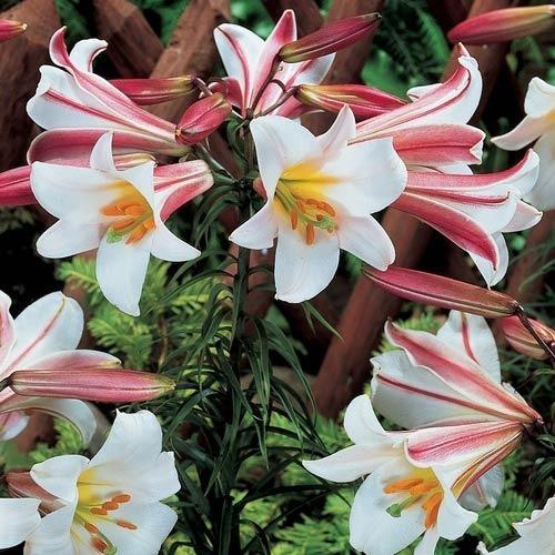 liliums exoticos novedad unicos perfumados importados x 3