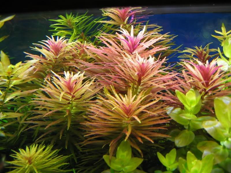 Limnophila aromatica plantas para acuario bs 500 00 en for Plantas de acuario