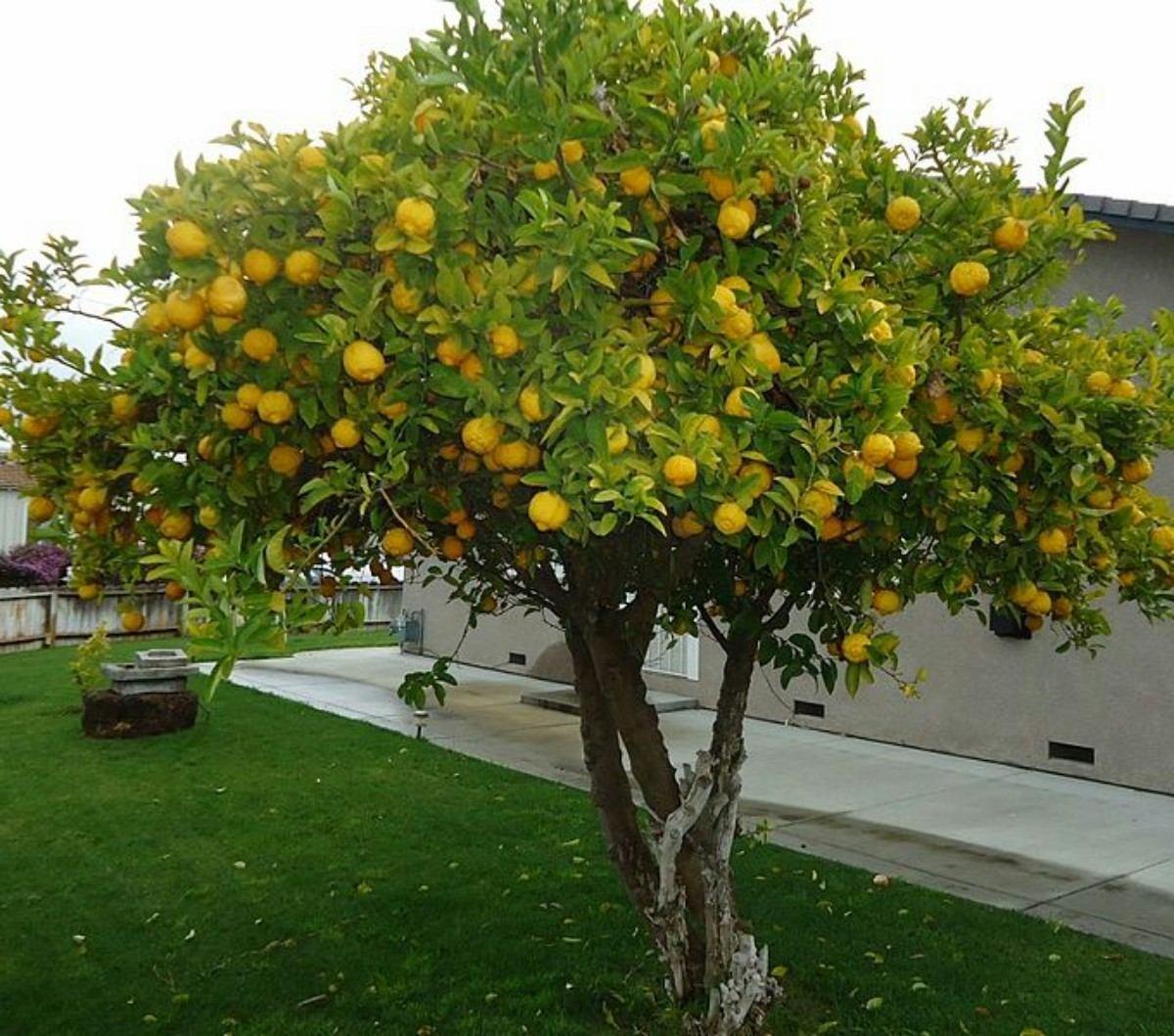 Resultado de imagen para limonero