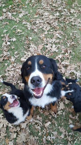 linda cachorra boyeros de berna inscrita
