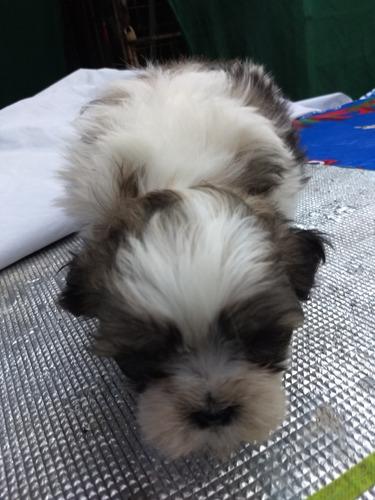 linda cachorrita shitzu dos meses a la venta.  precio conver