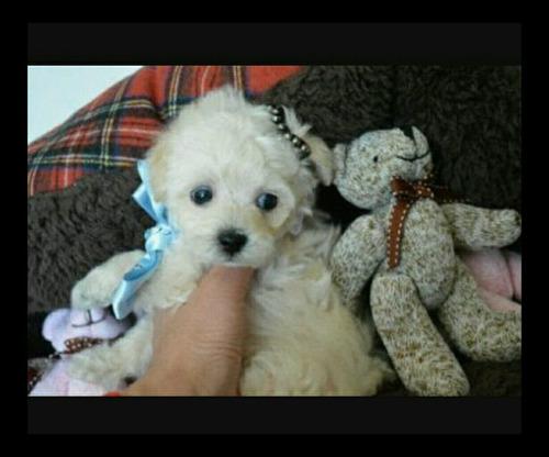 lindas filhote de poodle toy fêmeas disponíveis!